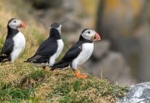 Puffins Watching In Iceland