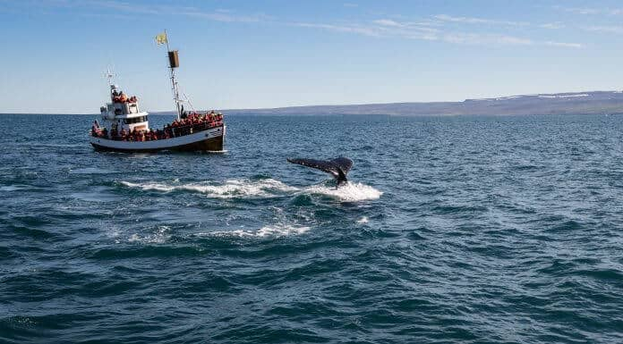 Whale Watching In Akureyri