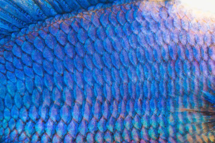 Beautiful blue fish scales zoomed in for fish leather making