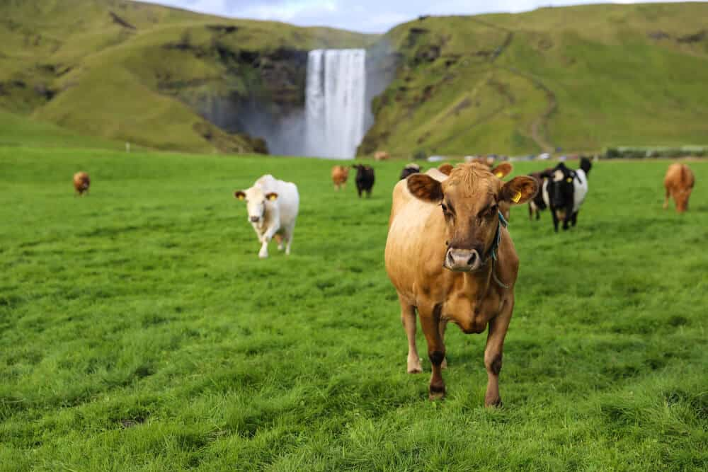 Icelandic cows walking freely with a waterfall far behind them