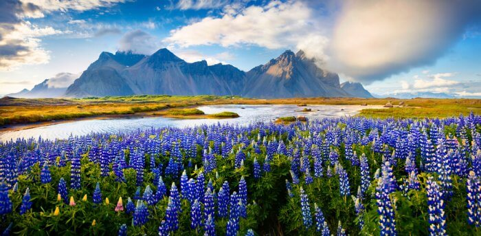 Summer landscape full with blooming lupine flowers in Iceland