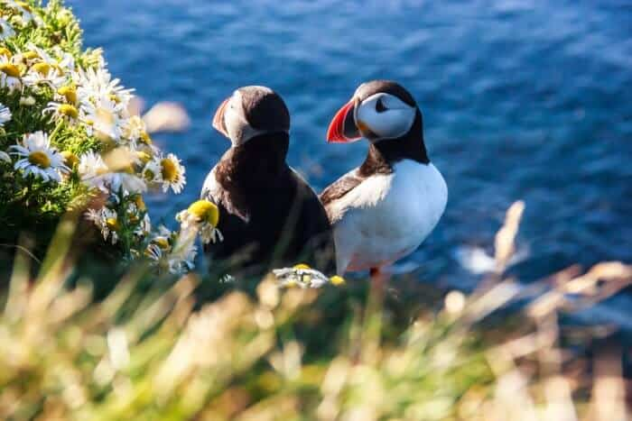 Puffin couple nesting in Iceland
