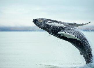 Whale breaching in Husavik, Iceland's Diamond Circle