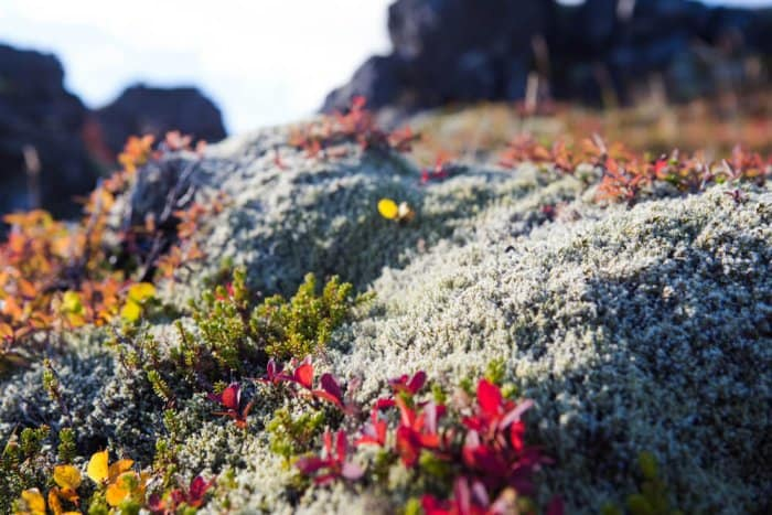 Volcanic moss with flowers in the Snaefellsnes peninsula