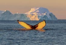 Whale tail in Arctic waters in Iceland