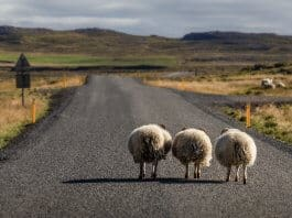 Sheep walking on the Ring Road in North Iceland