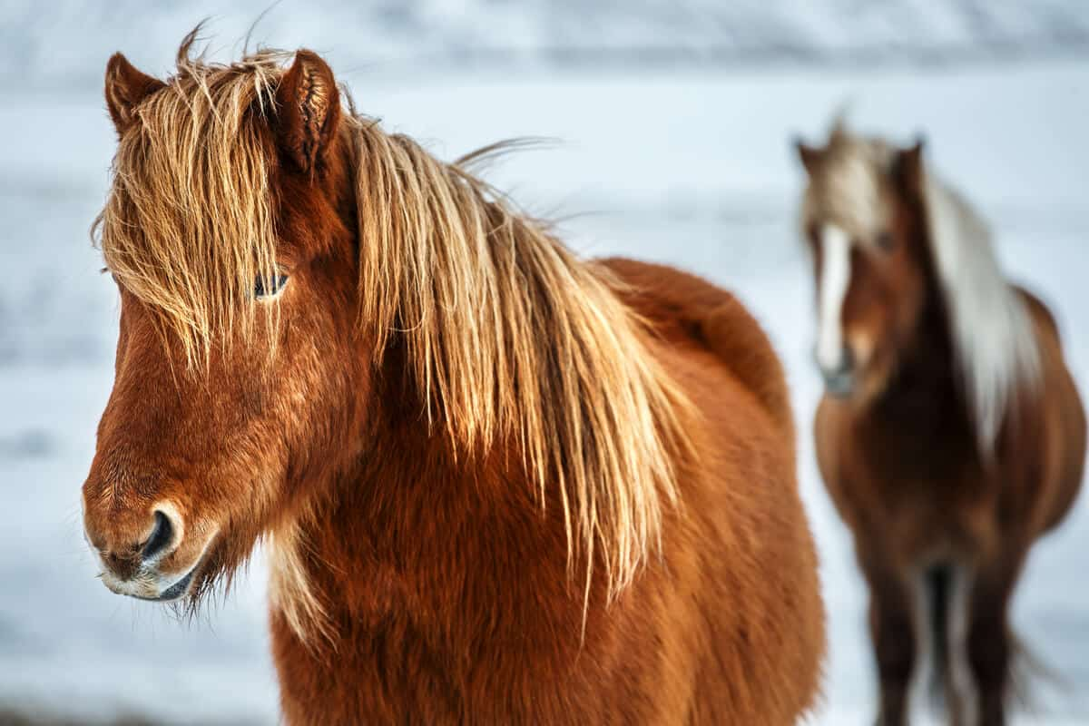 Luxury travel in Iceland with a horseback riding tour