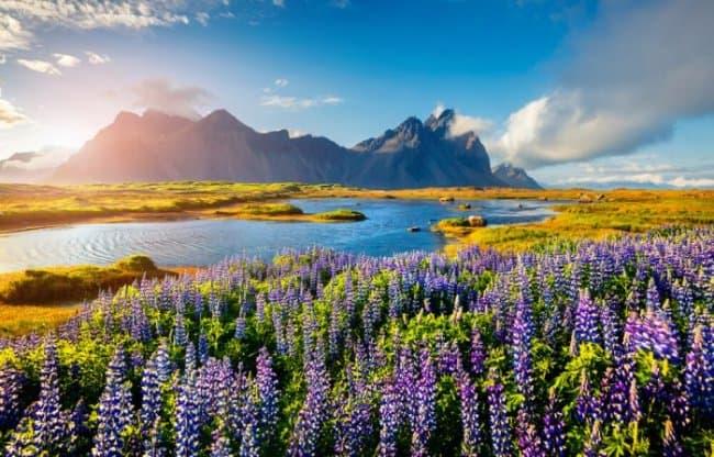 Blooming lupine flowers on the Stokksnes headland on the southeastern Icelandic coast