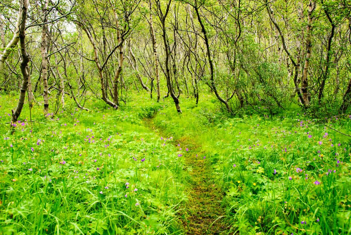 Sustainable tourism in Iceland is important to preserve Asbyrgi canyon forest