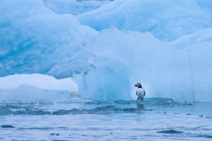 Iceland glacier melting affect animals like a penguin