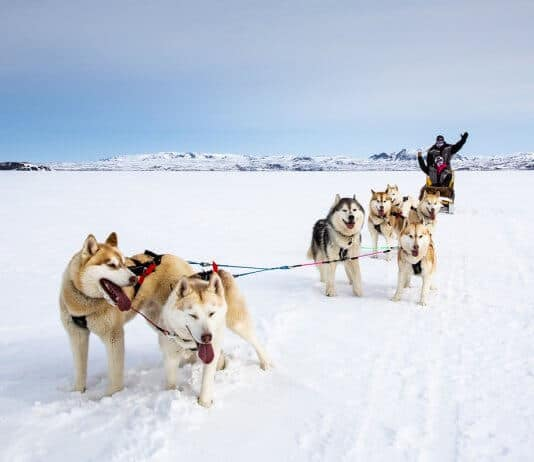 People dog sledding in the snow in Iceland
