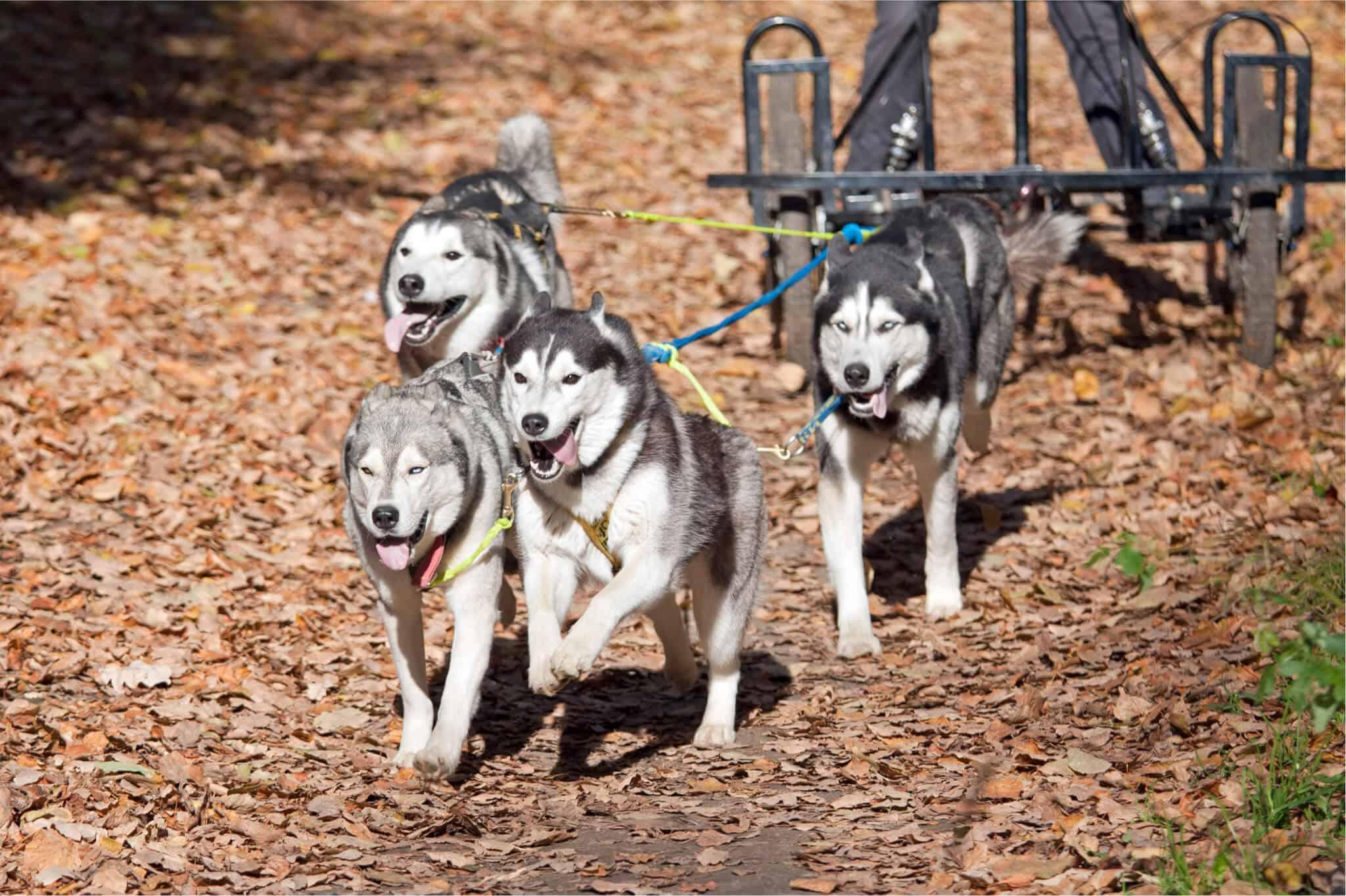 Dog sledding on dry land